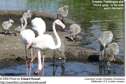 Greater flamingo with young