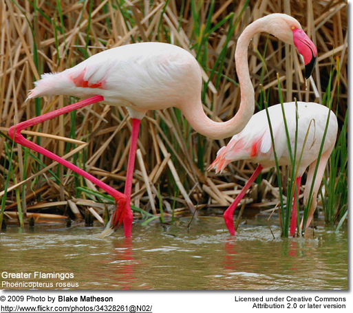 Greater Flamingos foraging for food