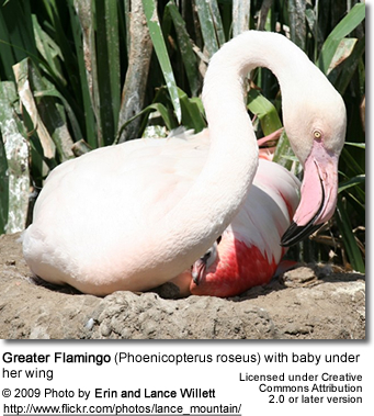 Greater Flamingo with chick underneath her wing