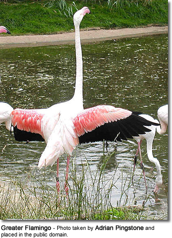 Greater Flamingo stretching its wings