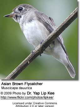 Asian Brown Flycatcher, Muscicapa dauurica,