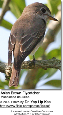 Asian Brown Flycatcher, Muscicapa dauurica