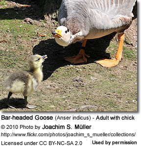 Bar-headed Goose (Anser indicus) - Adult with chick