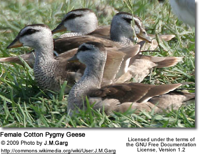 Female Cotton Pygmy Geese