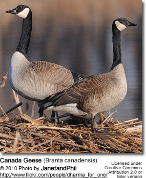 Canada Geese (Branta canadensis) - on nest