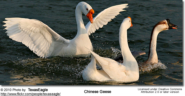 Chinese Domesticated Geese