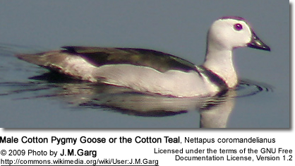 Male Cotton Pygmy Goose or the Cotton Teal, Nettapus coromandelianus - Male