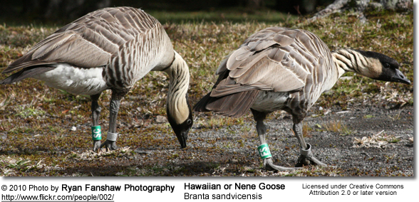 Hawaiian or Nene Goose