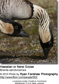 Hawaiian Goose or N?n?, Branta sandvicensis