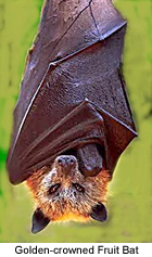 Golden-crowned Fruit Bat