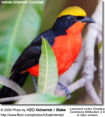Yellow-crowned or Common Gonolek