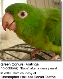 Green Conure after a meal