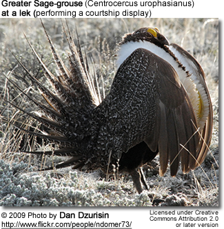 Greater Sage-grouse (Centrocercus urophasianus)