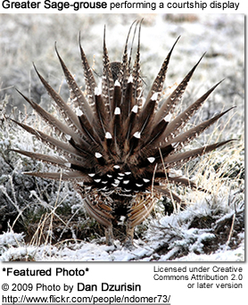 Greater Sage-grouse performing a courtship display
