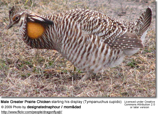 Male Greater Prairie Chicken starting his display (Tympanuchus cupido)