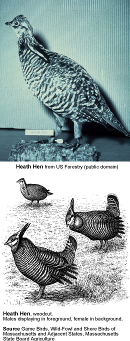 Heath Hen
