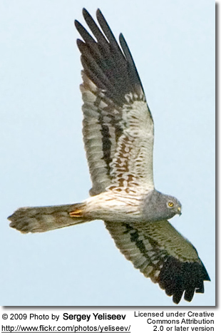 Montagu's Harrier in flight
