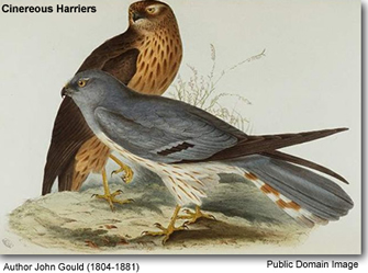 Cinereous Harriers