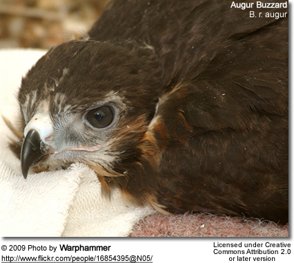 Augur Buzzard chick