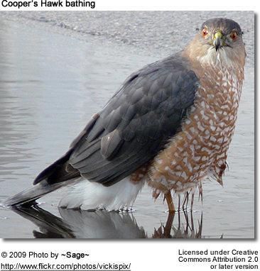 Cooper's Hawk Playing in a Puddle