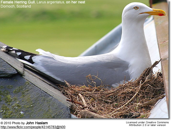Female Herring Gull, Larus argentatus, on her nest