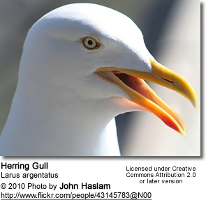 Herring Gull, Larus argentatus - head detail