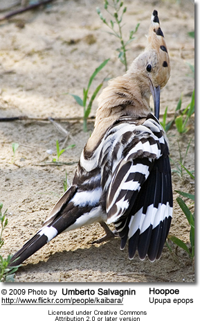 Hoopoe with an itch