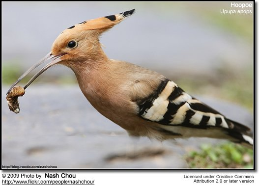 Hoopoe with insect in beak