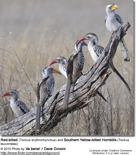 Red-billed (Tockus erythrorhynchus) and Southern Yellow-billed Hornbills (Tockus leucomelas)