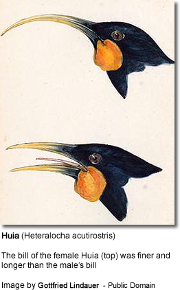 The bill   of the female Huia (top) was finer and longer than the male's bill