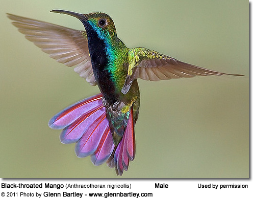 Black-throated Mango (Anthracothorax nigricollis)