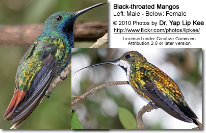 Black-throated