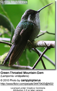 Green-Throated Mountain-Gem (Lampornis viridipallens)