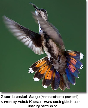 Green-breasted Mango (Anthracothorax prevostii)