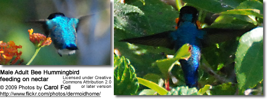 Male Adult Bee Hummingbird feeding on nectar