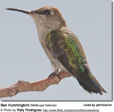 Hummingbird facts, hummingbird family, species, locations, and related information