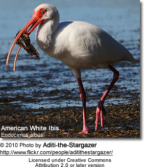 American White Ibis with food