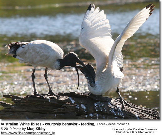 Australian White Ibises - courtship behavior - feeding, Threskiornis molucca - courtship behavior, mutual feeding