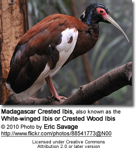 Madagascar Ibis (Lophotibis cristata), also known as the Madagascar Crested Ibis, White-winged Ibis or Crested Wood Ibis