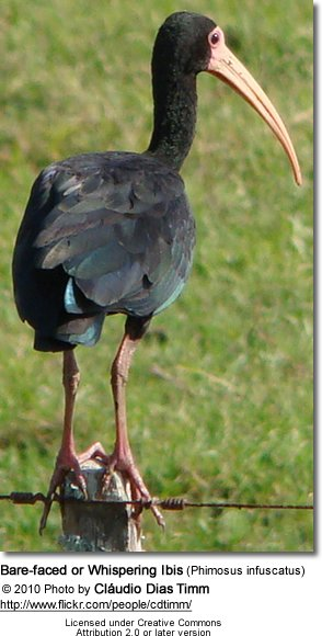 Bare-faced or Whispering Ibis (Phimosus infuscatus)