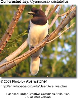 Curl-crested Jay - Female