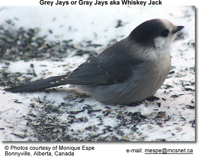 Gray Jay or Whiskey Jay