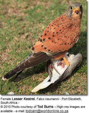Female Lesser Kestrel, Falco naumanni
