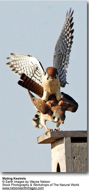Mating Kestrels