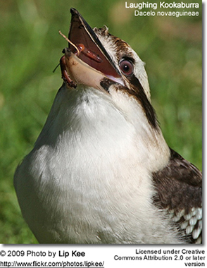 Laughing Kookaburra eating