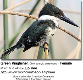 Green Kingfisher