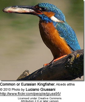 Male European Kingfisher