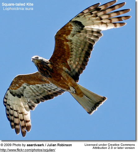 Square-tailed Kite