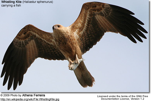 Whistling Kite with fish