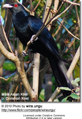 Asian or Common Koel (Eudynamys scolopaceus)